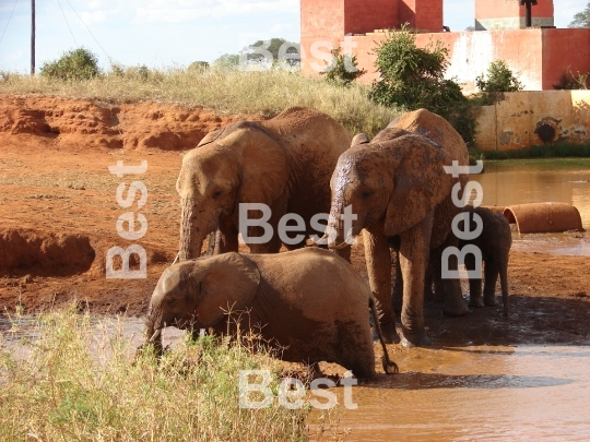 Red african elephant at the waterhole