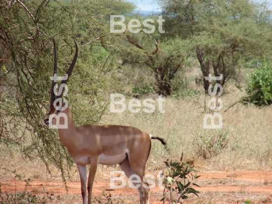 Antelope in Tsavo National Park