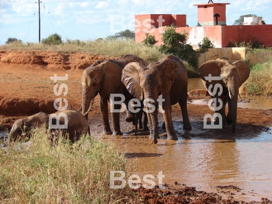 Red african elephant with at the waterhole in Tsavo National Park