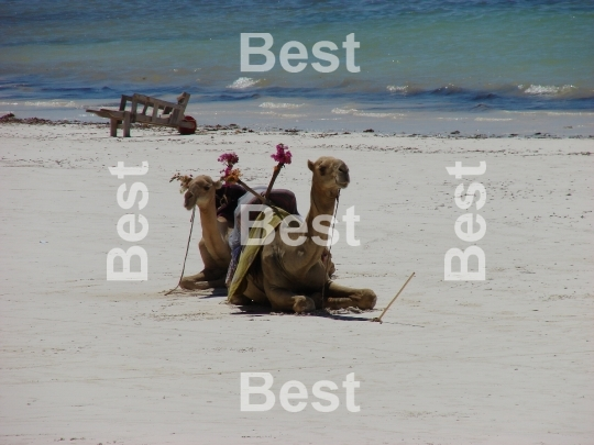 Rest of camel on the beach