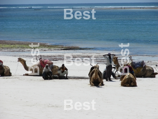 Rest of people and camels on the beach